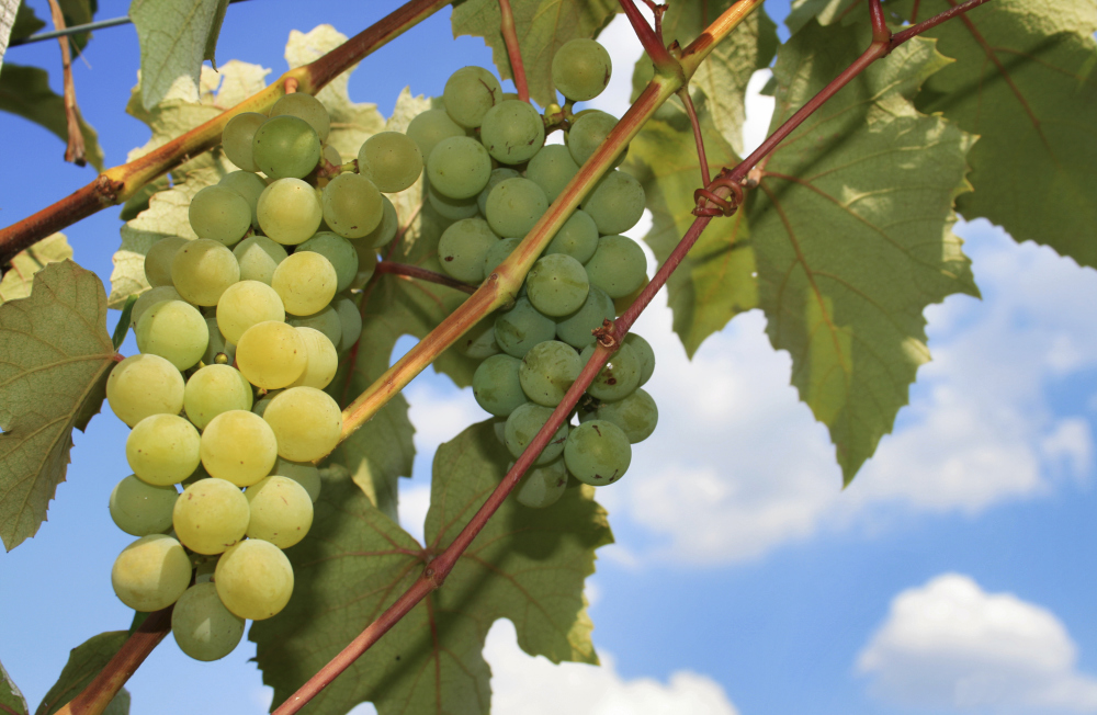 Home Winemaking With Grapes